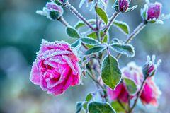 Eine Rose friert