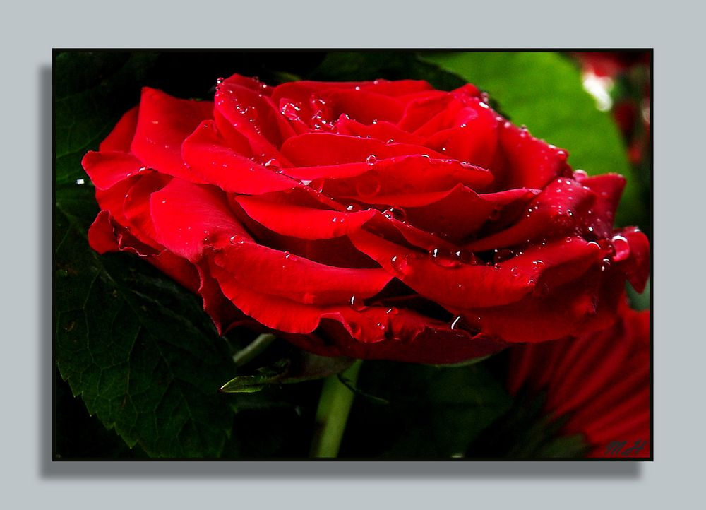 eine rose f r alle freunde foto bild pflanzen pilze flechten bl ten kleinpflanzen. Black Bedroom Furniture Sets. Home Design Ideas