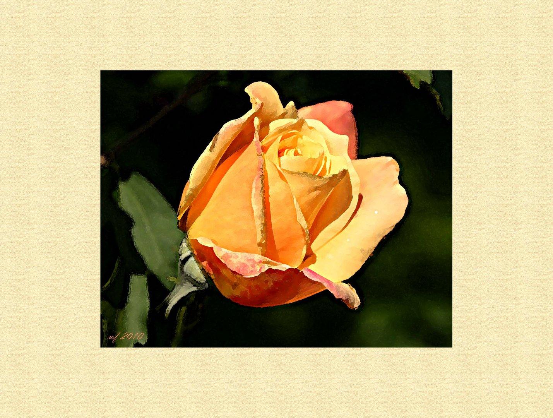 Eine Rose für das kommende Wochenende