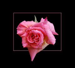 Eine Rose für das WE # Una rosa para el fin de semana