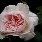 Eine Rose für dich
