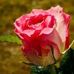 Eine Rose für Euch zum Valentinstag!