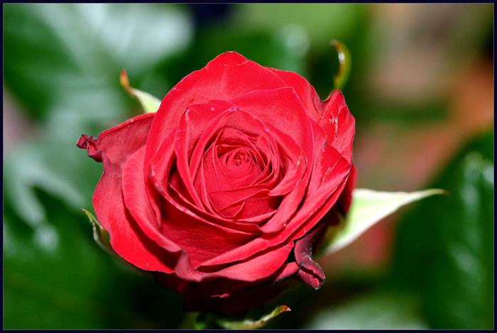 Eine Rose für Frido...