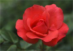 eine rose für meine buddies - und für alle die rosen lieben ...