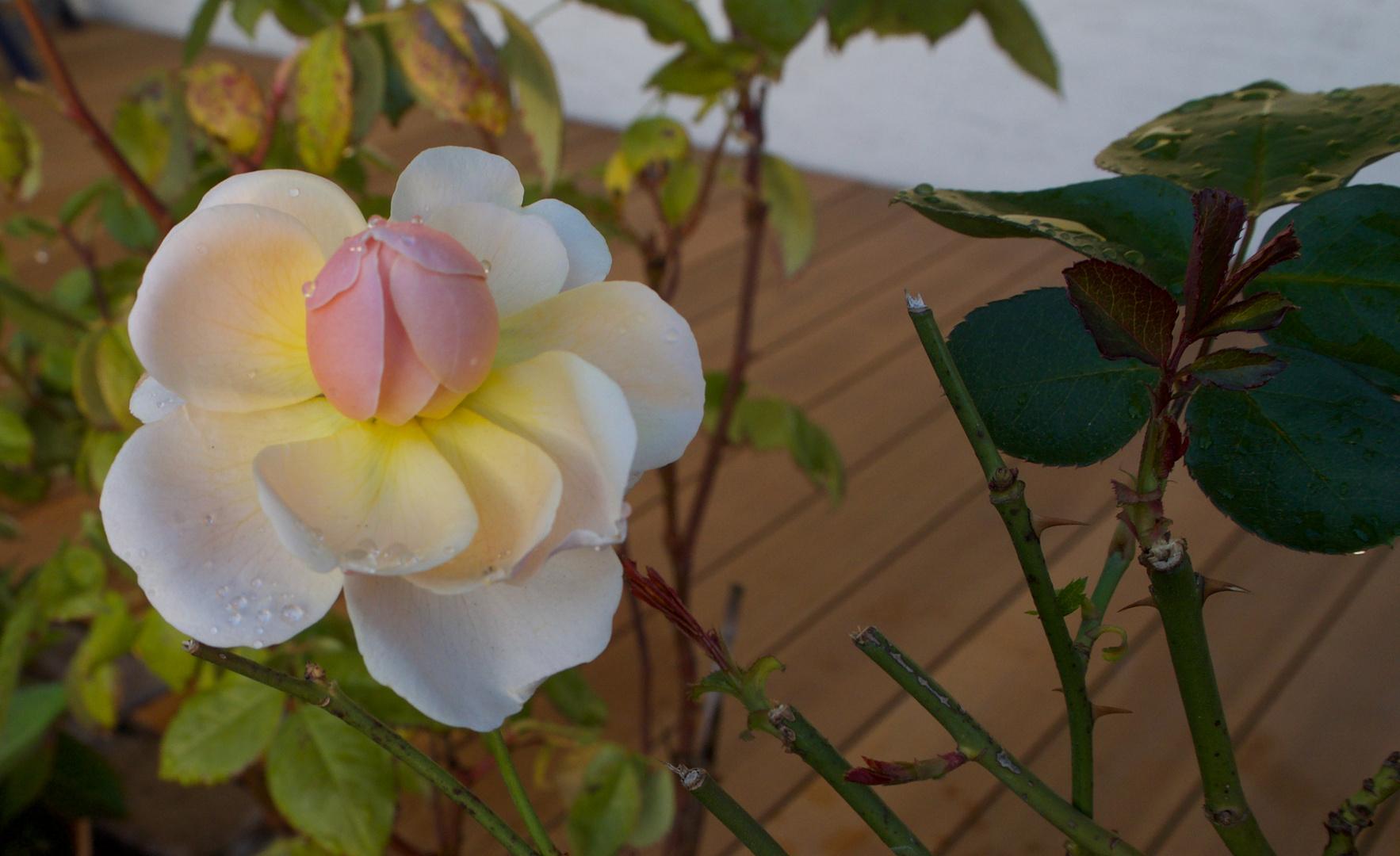 eine Rose im Garten