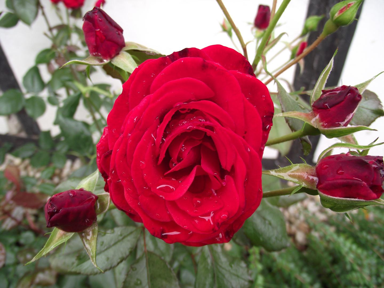 Eine Rose im Klostergarten