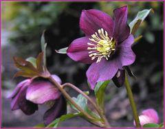 Eine Rose im März