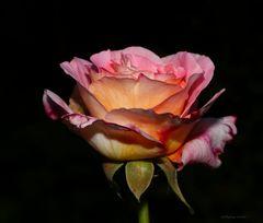 Eine Rose im November 2018