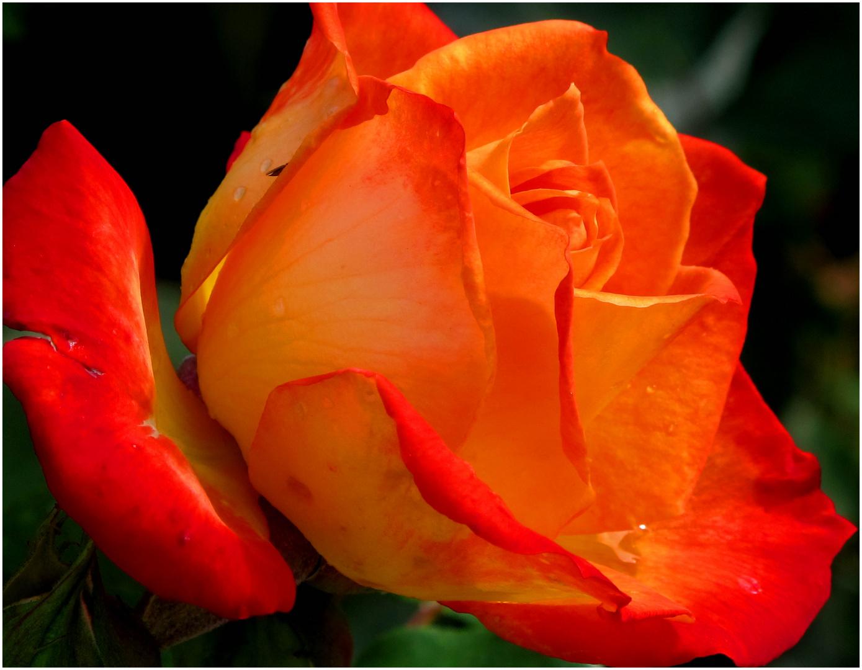 """""""Eine Rose ist eine Rose.."""""""