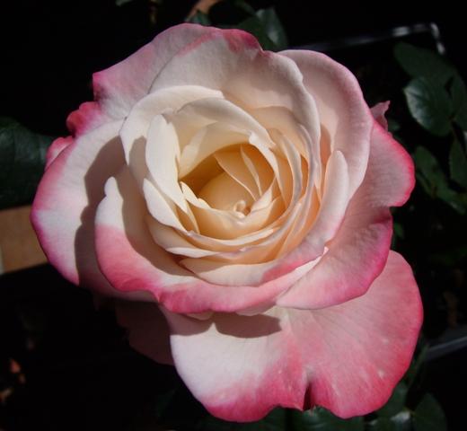 eine Rose ist eine Rose ist eine...
