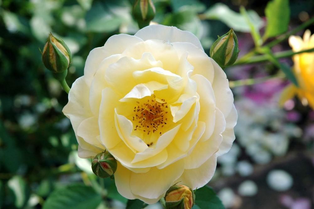Eine Rose ist eine Rose, ist eine Rose...