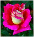 eine rose ist eine rose ist eine rose...