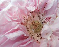 Eine Rose namens Mirjam