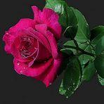 eine Rose schenk ich euch ...
