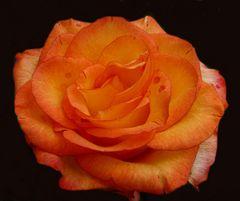 Eine Rose von Rosi