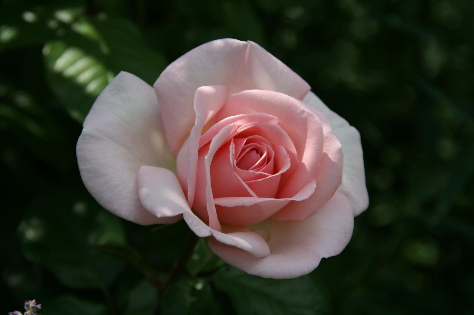 Eine Rose wie gemalt