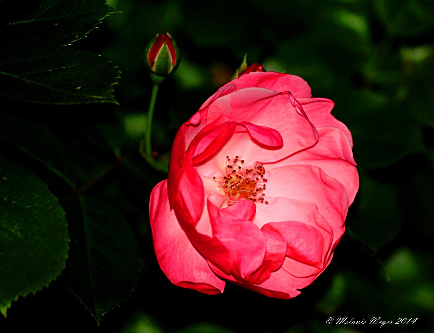 Eine Rose zu Pfingsten