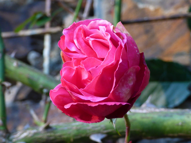 Eine Rose zu Weihnachten... Foto & Bild | pflanzen, pilze & flechten ...