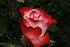 Eine Rose zum...