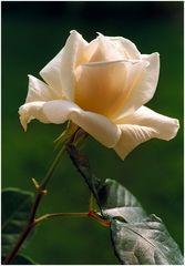 Eine Rose zum Geburtstag für dich!