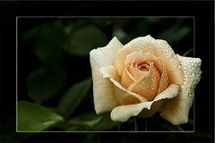 Eine Rose zum Wochenanfang