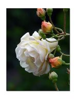 Eine Rosen Schönheit