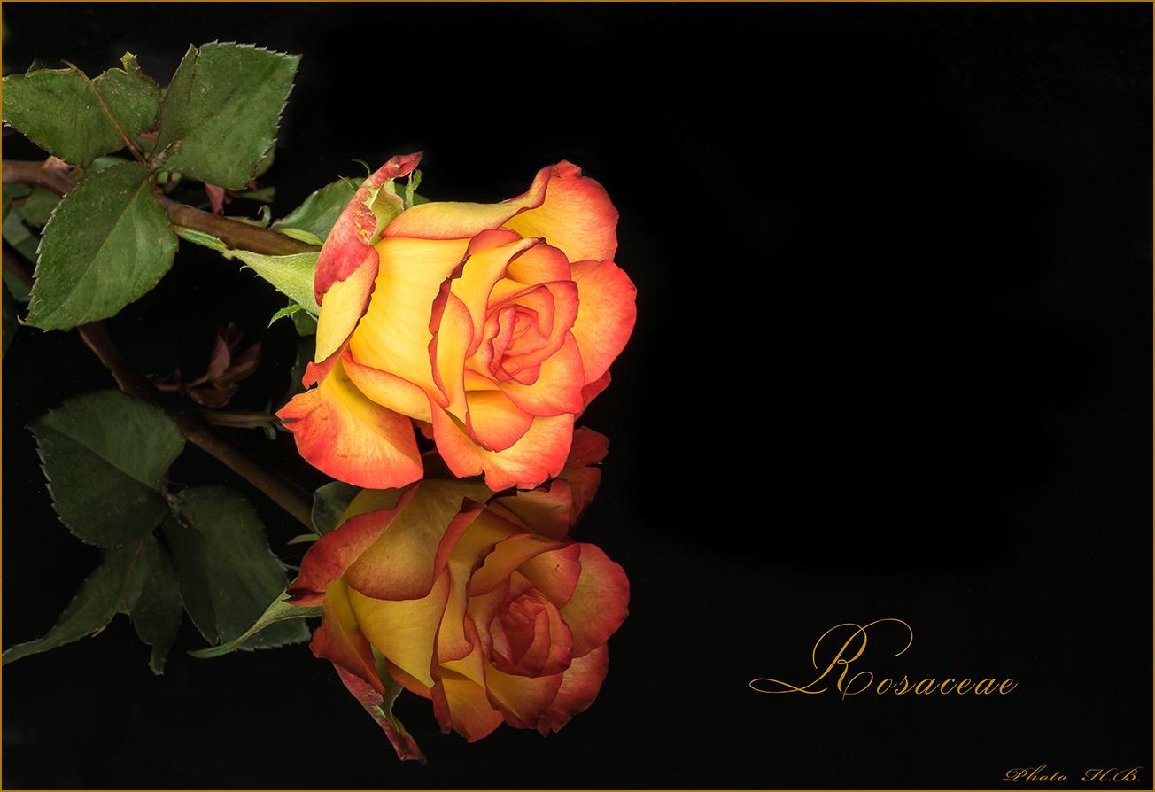 Eine Rosenblüte aus meinem Valentinsstrauss