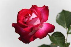 Eine Rosenkönigin