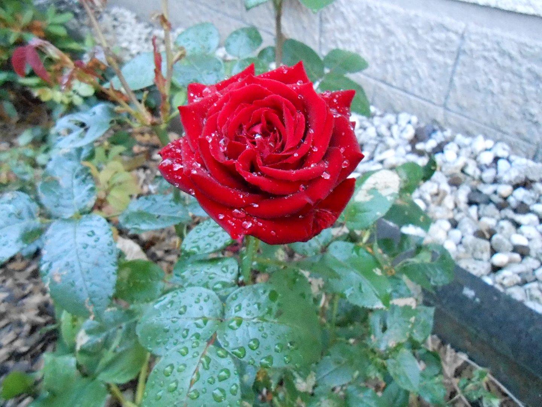 Eine Rote Rose am Haus