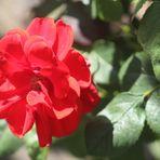 eine rote Rose heute für Alle meine Freunde die auch so gerne fotografieren