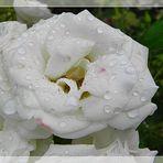 Eine Samstags Rose