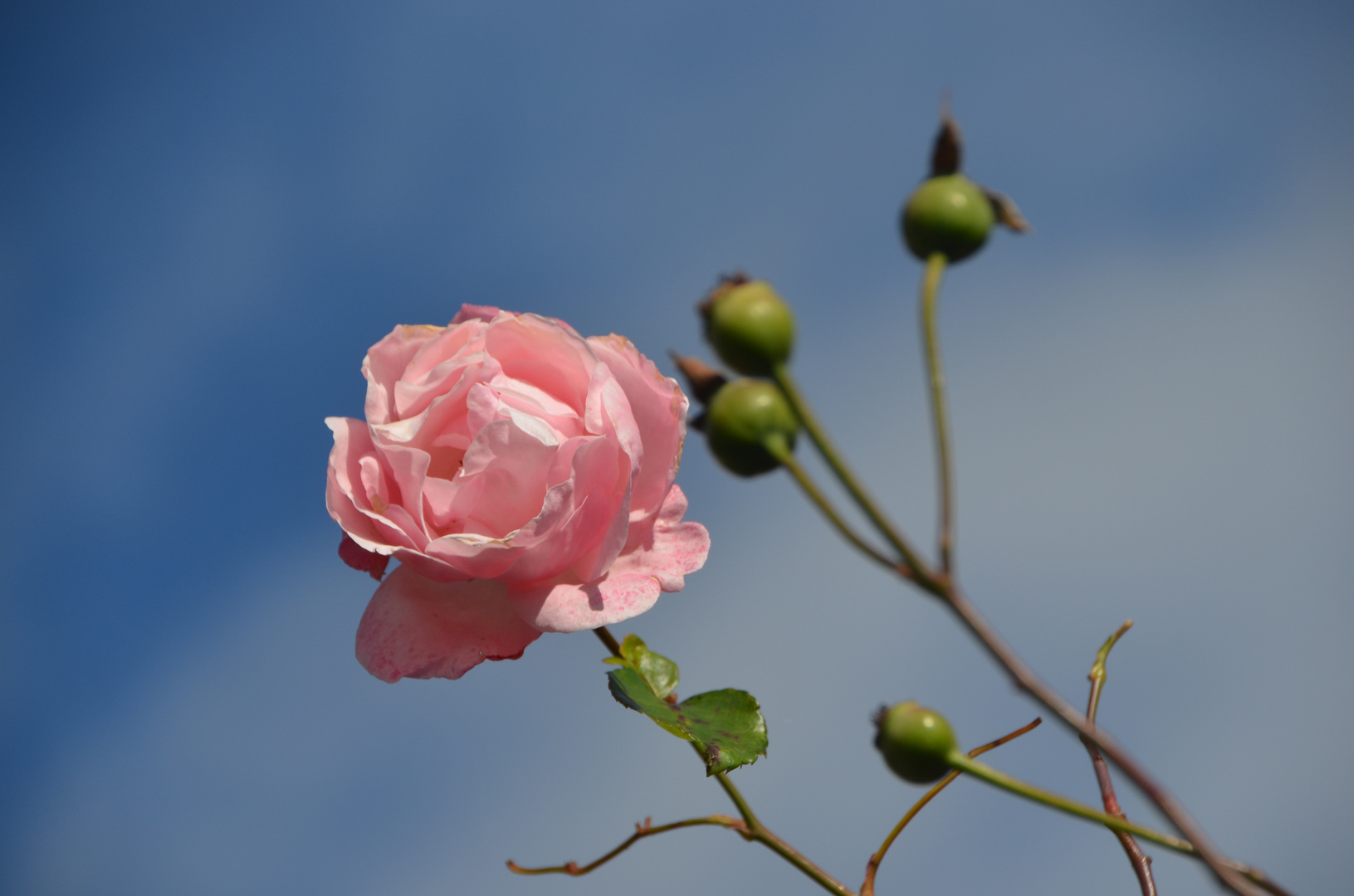 Eine sanfte Rose