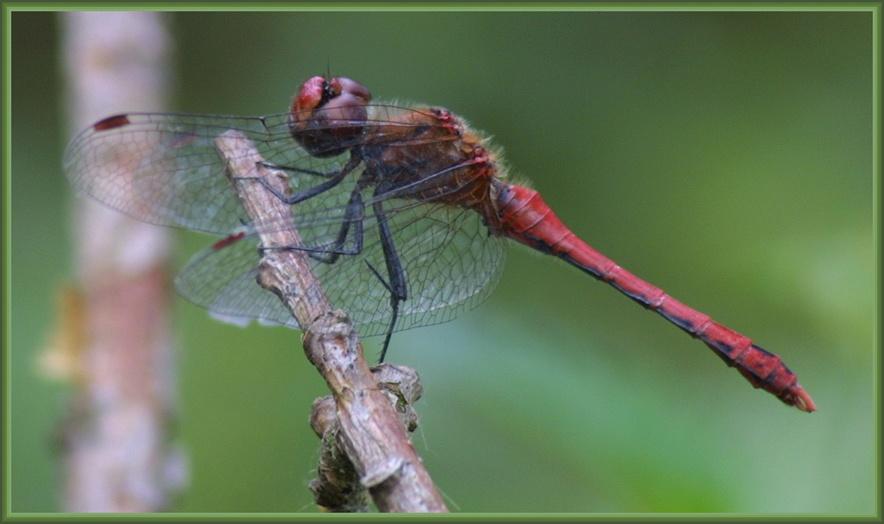 Eine schmucke Libelle