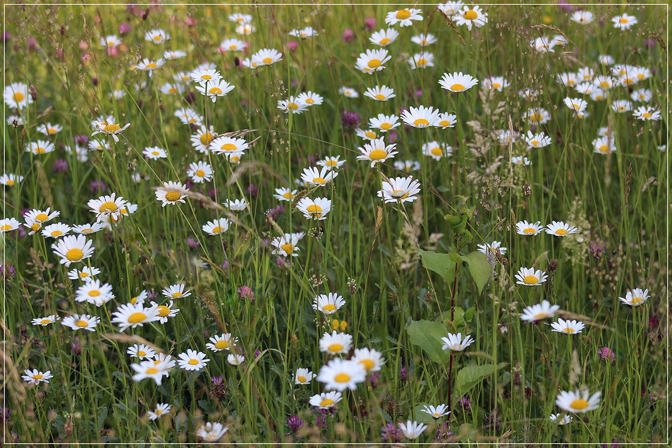 Eine Schöne Blumenwiese Foto Bild Landschaft äcker Felder