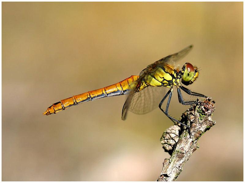 eine schöne Heidelibelle