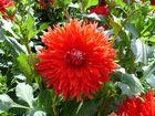 Eine schöne rote Blüte von einer Dahlie