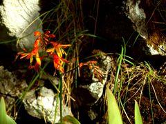 Eine Schottische-Blume.