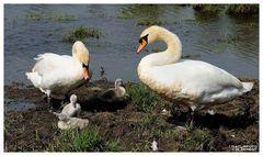 - Eine Schwanen Familie in England -