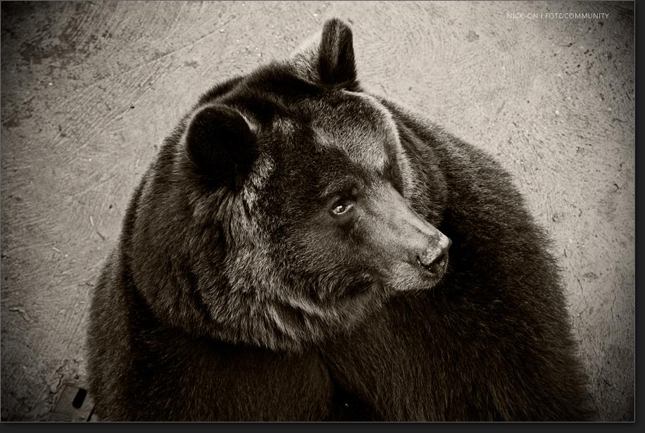 Eine Schwarz-Weiß-Aufnahme des Bären in Hirschfeld