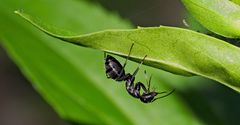 Eine schwarze Ameise entdeckt die Welt! - Une fourmi noire découvre le monde!