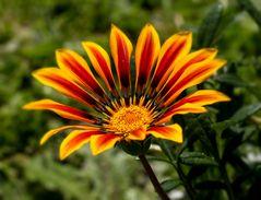 Eine sehr schöne Blume