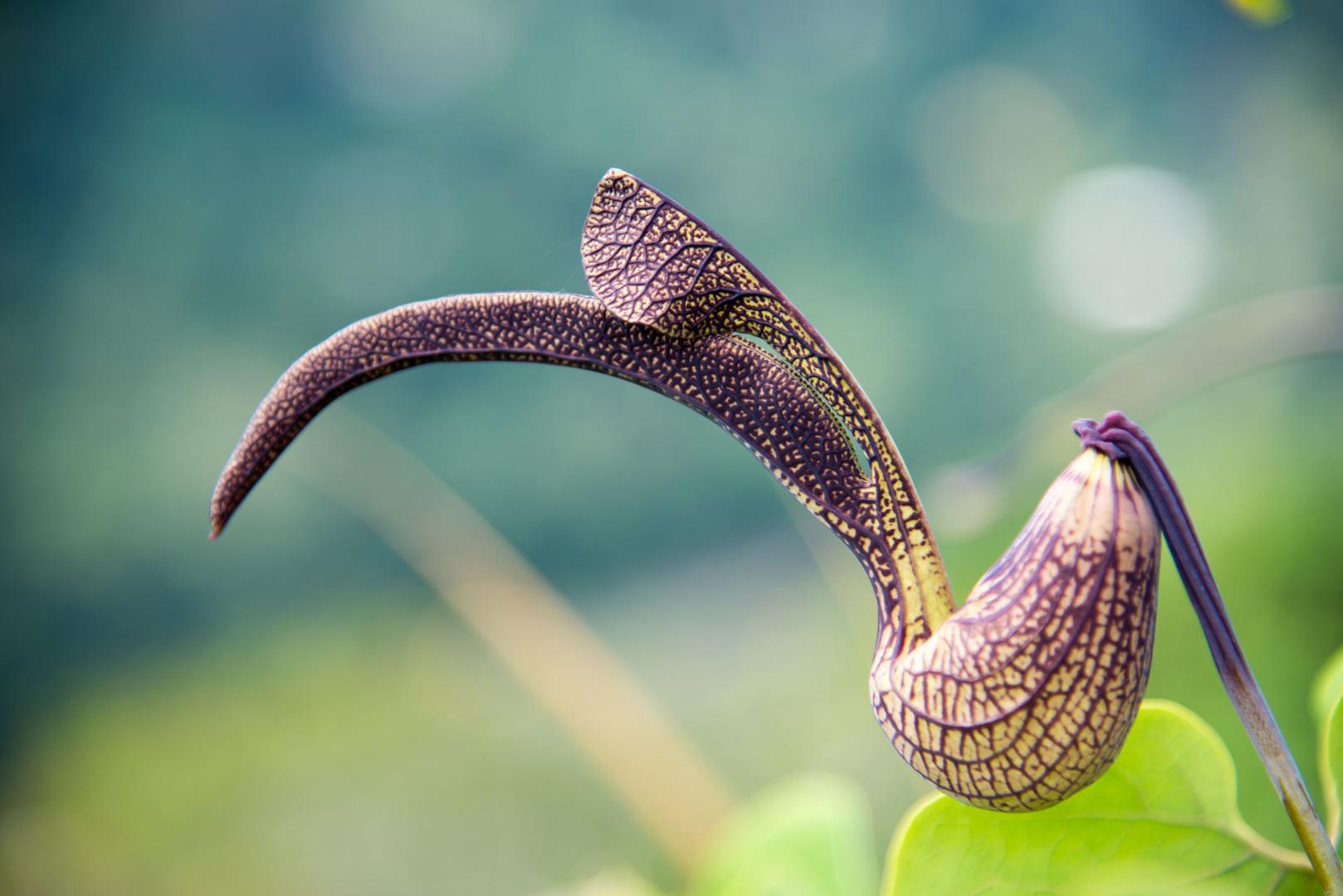 Eine seltsame Blüte