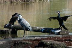 Eine seltsame Tierfreundschaft zwischen Kormoran und Reiher-