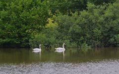 eine Sensation, zwei Schwäne auf dem See ( una sensación, dos cisnes enel lago)