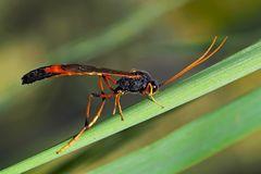 Eine Sichelwespe (Therion circumflexum)! * - Un insecte assez spécial, étrange et beau!