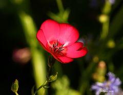 Eine Sommerblume