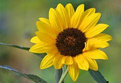 Eine Sonne gegen die graue Nieselsuppe, vielleicht spornt es sie an !