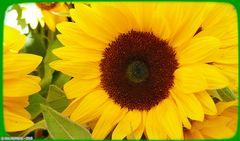 Eine Sonnenblume für mein Mütterlein