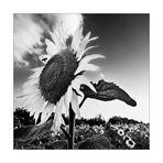 Eine Sonnenblume kann auch in SW wunderschön sein.