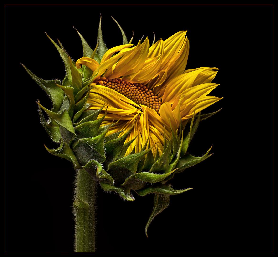Eine Sonnenblume öffnet sich